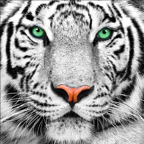 """Набор для выкладывания мозаики Алмазная живопись """"Портрет белого тигра"""""""
